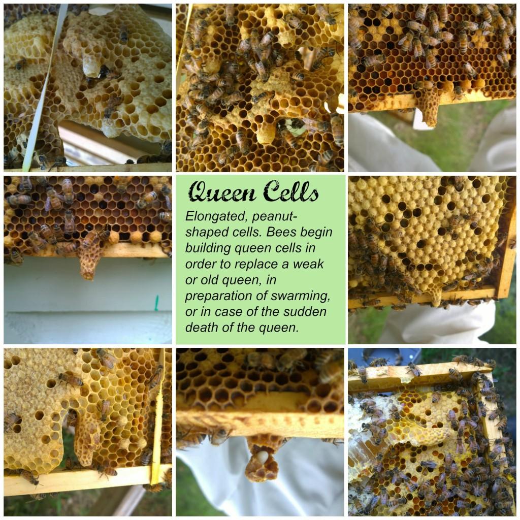 Queen Cells