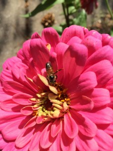 My zinnias are slowing down, but on sunny days, they're still well visited.