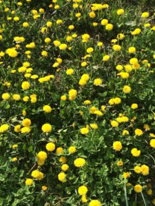 Dandelions are a critical early food for pollinators.