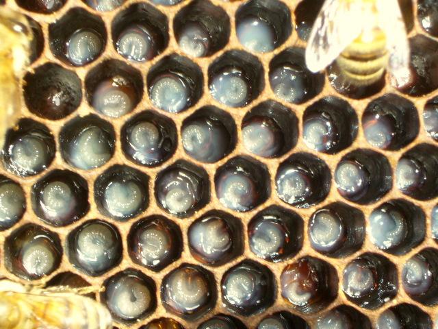 larva in RJ