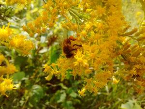 goldenrodbee